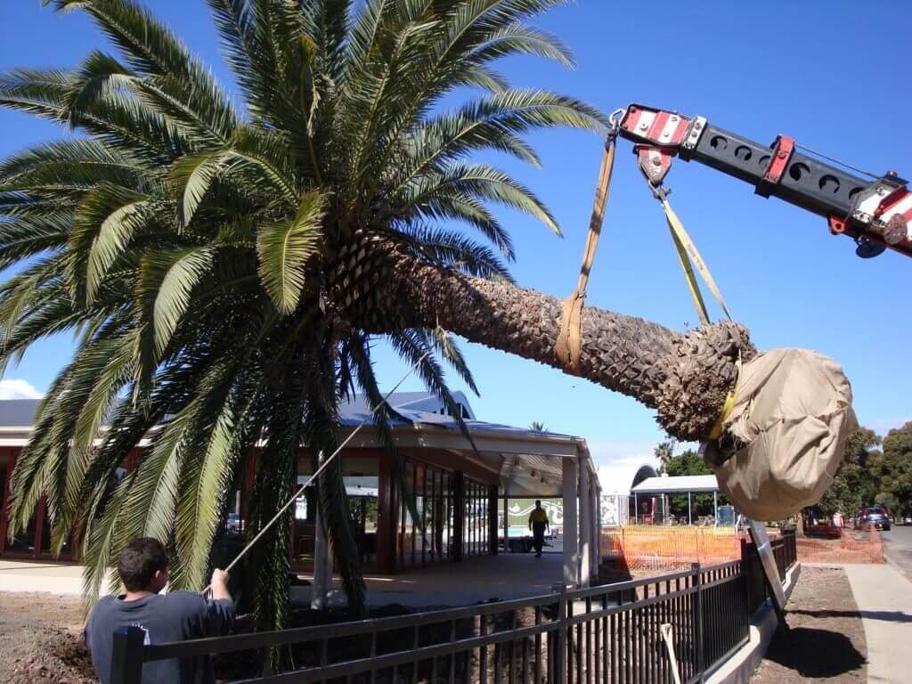 Palm Tree Removal-Santa Maria Tree Trimming and Stump Grinding Services-We Offer Tree Trimming Services, Tree Removal, Tree Pruning, Tree Cutting, Residential and Commercial Tree Trimming Services, Storm Damage, Emergency Tree Removal, Land Clearing, Tree Companies, Tree Care Service, Stump Grinding, and we're the Best Tree Trimming Company Near You Guaranteed!
