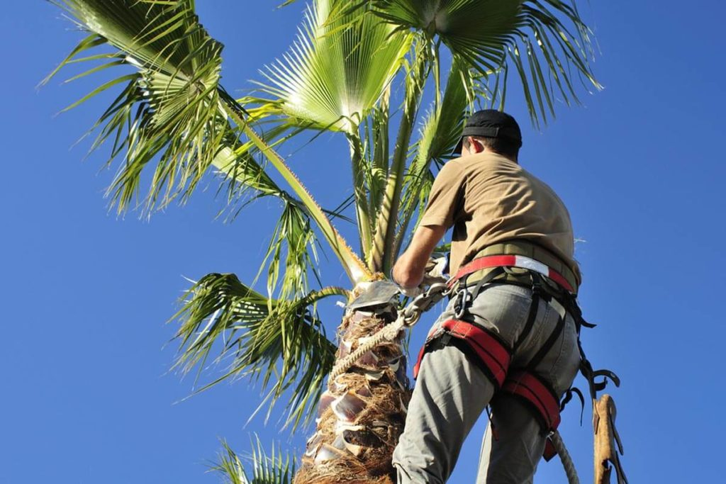 Palm Tree Trimming-Santa Maria Tree Trimming and Stump Grinding Services-We Offer Tree Trimming Services, Tree Removal, Tree Pruning, Tree Cutting, Residential and Commercial Tree Trimming Services, Storm Damage, Emergency Tree Removal, Land Clearing, Tree Companies, Tree Care Service, Stump Grinding, and we're the Best Tree Trimming Company Near You Guaranteed!