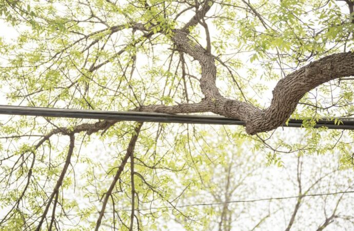 Tree-Bracing-Cabling-Santa Maria Tree Trimming and Stump Grinding Services-We Offer Tree Trimming Services, Tree Removal, Tree Pruning, Tree Cutting, Residential and Commercial Tree Trimming Services, Storm Damage, Emergency Tree Removal, Land Clearing, Tree Companies, Tree Care Service, Stump Grinding, and we're the Best Tree Trimming Company Near You Guaranteed!