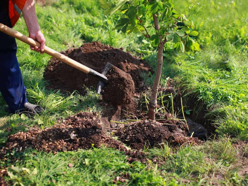 Tree Planting-Santa Maria Tree Trimming and Stump Grinding Services-We Offer Tree Trimming Services, Tree Removal, Tree Pruning, Tree Cutting, Residential and Commercial Tree Trimming Services, Storm Damage, Emergency Tree Removal, Land Clearing, Tree Companies, Tree Care Service, Stump Grinding, and we're the Best Tree Trimming Company Near You Guaranteed!